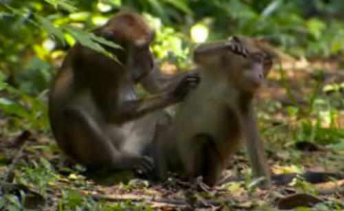 Survivor Caramoan Monkeys