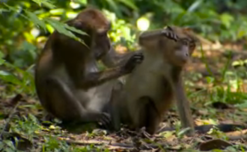 Survivor Caramoan Monkeys